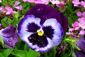 Violka trojbarevná - na první pohled obyčejná bylinka s úžasnými účinky