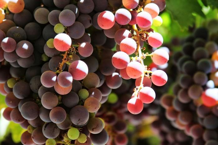 Hroznové víno je účinný detoxikační prostředek