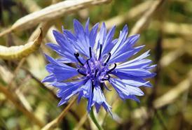 Chrpa modrá je nejen krásná, ale také zdraví prospěšná