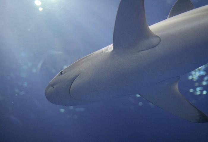 Žraločí chrupavka má blahodárný vliv na lidské zdraví