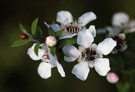Manukový med z Nového Zélandu