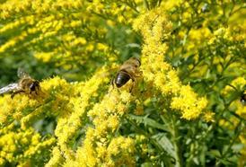 Zlatobýl obecný neboli žlutá metla