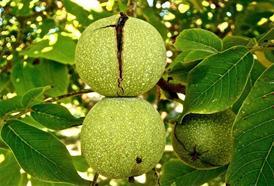 Vlašské ořechy podpoří funkci mozku