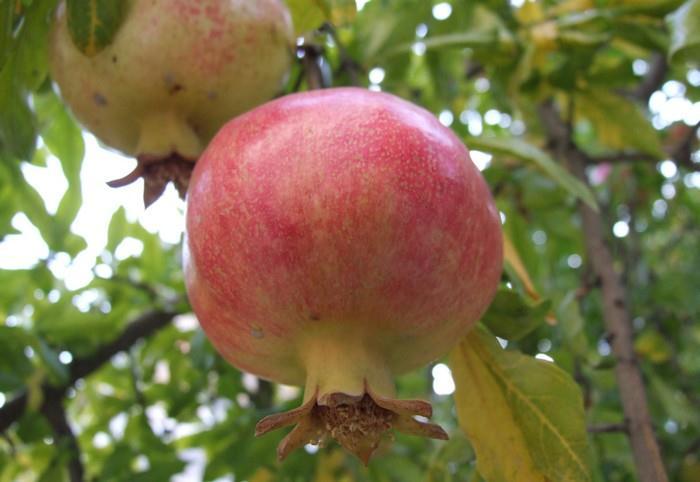 Granátové jablko a zdraví