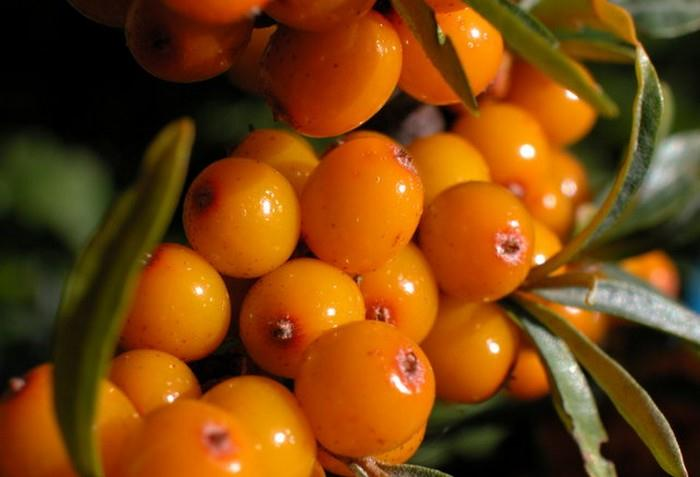 Plody rakytníku