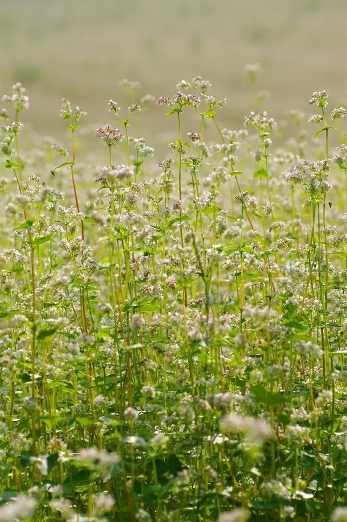 Pohanka - velmi odolná rostlinka