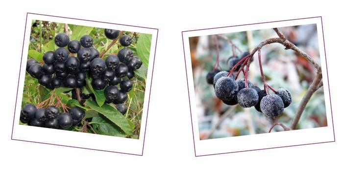 Arónie jsou plody jeřábu černého