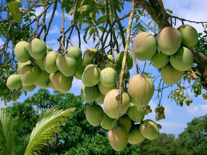 Mango je tropické ovoce, plod mangovníku