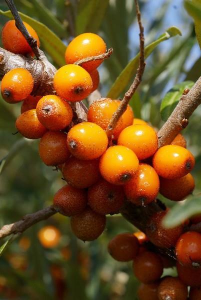 Rakytníkový olej má blahodárné účinky