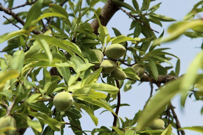 Nejlepší mandlový olej je panenský