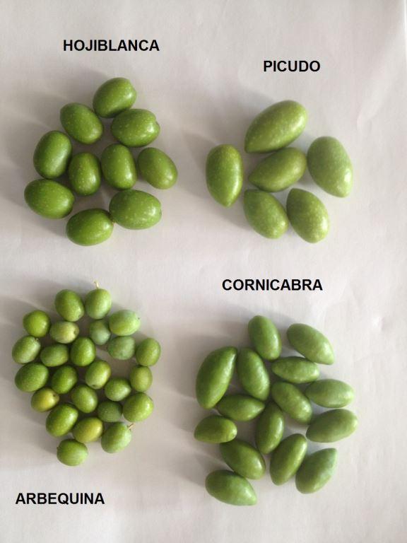 Odrůdy olivovníku