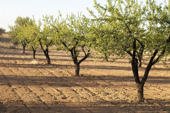 Sad mandlovníků
